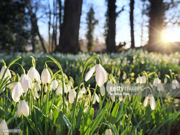 snowdrops in january - january stock pictures, royalty-free photos & images