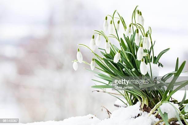 snowdrops (galanthus nivalis) in snow
