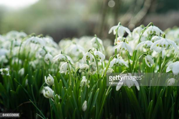 Snowdrops in the middle of winter