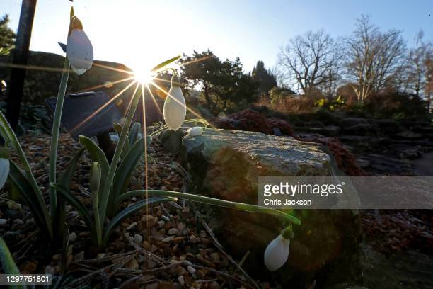Snowdrops in the rock garden at The Royal Botanic Garden's Kew on January 22, 2021 in London, England. Visitors are still allowed to visit Kew...