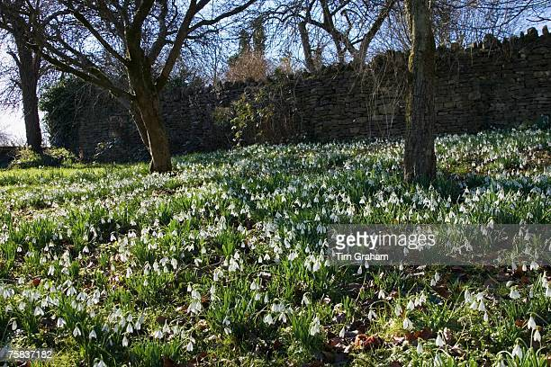 Snowdrops on forest floor in Oxfordshire woodland England United Kingdom