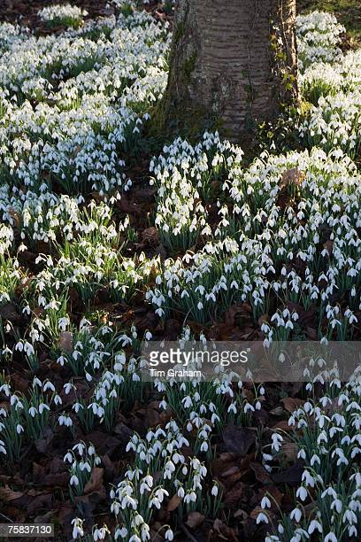 Snowdrops on woodland floor in The Cotswolds Oxfordshire England United Kingdom