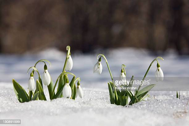 Snowdrops (Galanthus nivalis) peaking through the snow, Germany, Europe