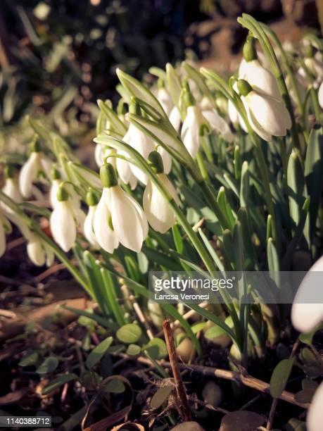 snowdrops - larissa veronesi stock-fotos und bilder
