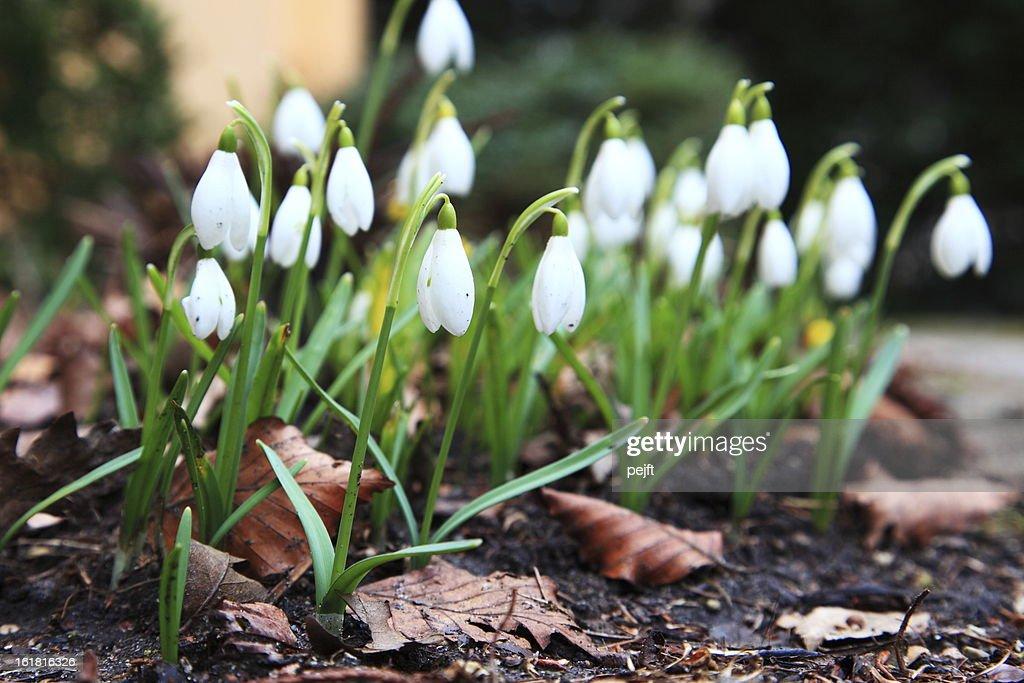 Snowdrops : Stock Photo