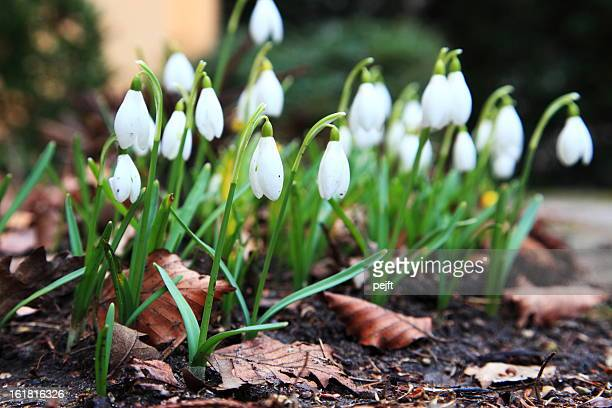 snowdrops - pejft stock pictures, royalty-free photos & images