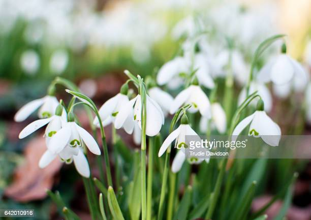 snowdrops - snowdrop stock pictures, royalty-free photos & images
