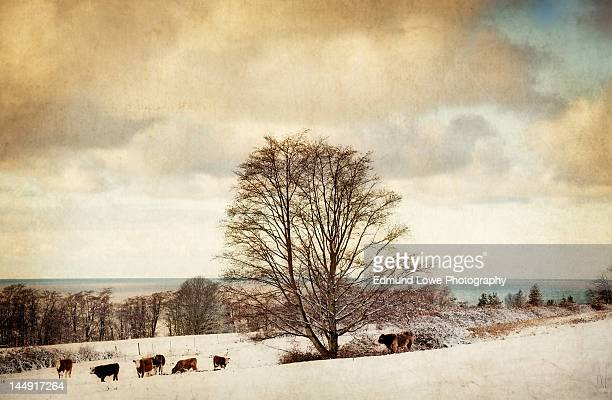 Snowfall with cows