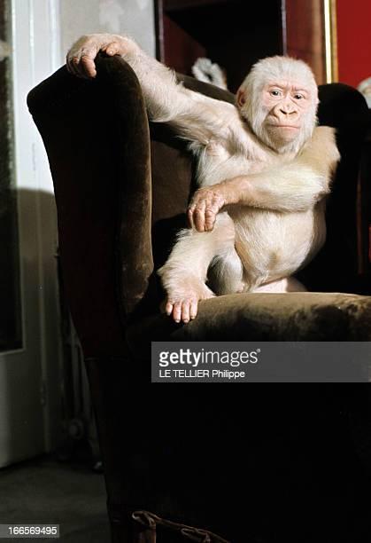 Snowflake The Albino Gorilla En mai 1967 portrait d'un gorille blanc albinos dans un fauteuil