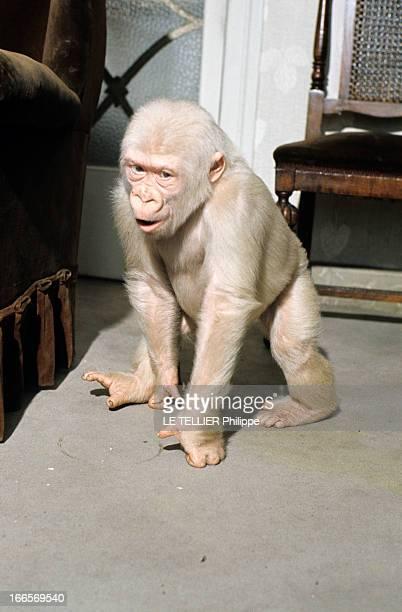 Snowflake The Albino Gorilla En mai 1967 portrait d'un gorille blanc albinos marchant sur le sol