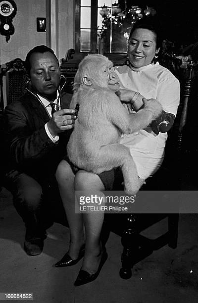 Snowflake The Albino Gorilla Le 28 avril 1967 en Espagne le docteur LUERA le directeur du zoo de la ville de Barcelone ausculte chez lui le gorille...