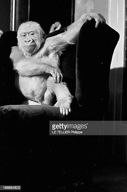 Snowflake The Albino Gorilla Le 28 avril 1967 en Espagne le gorille blanc albinos de 18 mois debout sur un fauteuil dans la maison du docteur Luera...