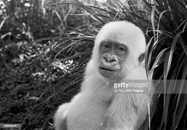 Snowflake The Albino Gorilla Le 28 avril 1967 en Espagne portrait du gorille blanc albinos de 18 mois