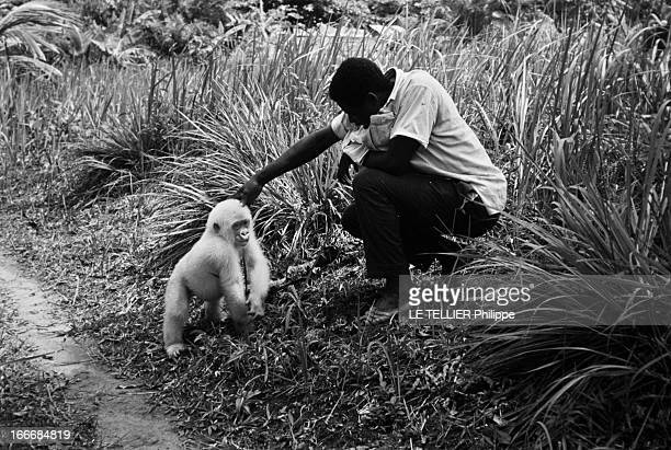 Snowflake The Albino Gorilla Le 28 avril 1967 le gorille blanc albinos de 18 mois avec Benito planteur de bananes