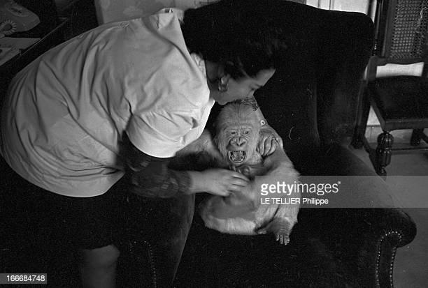 Snowflake The Albino Gorilla Le 3 mars 1967 en Espagne le gorille blanc albinos de 18 mois assis sur un fauteuil avec l'épouse du docteur Luera le...