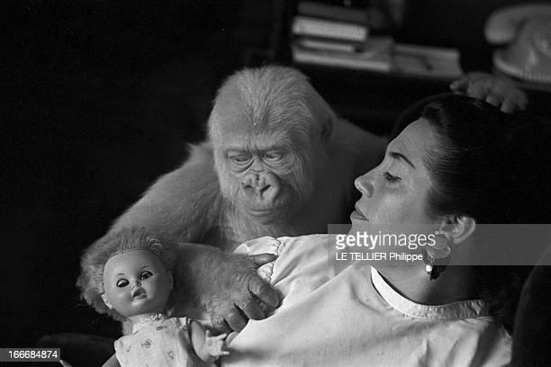 Snowflake The Albino Gorilla Le 3 mars 1967 en Espagne le gorille blanc albinos de 18 mois joue avec une poupée à côté de l'épouse du docteur Luera...