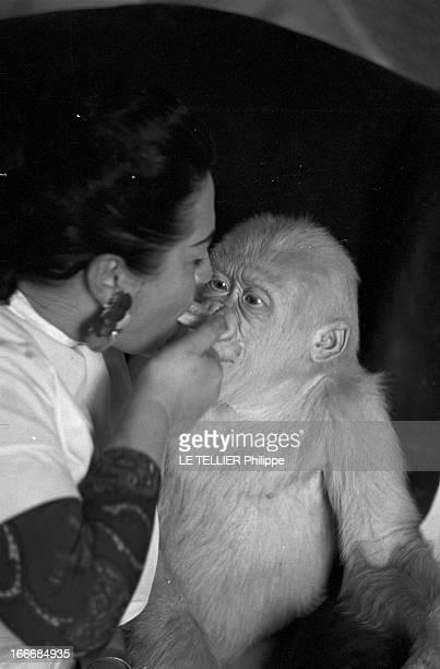 Snowflake The Albino Gorilla Le 3 mars 1967 en Espagne le gorille blanc albinos de 18 mois apprend à manger un biscuit avec l'épouse du docteur Luera...