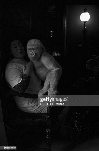 Snowflake The Albino Gorilla Le 3 mars 1967 en Espagne le gorille blanc albinos de 18 mois avec l'épouse du docteur Luera le directeur du zoo de la...
