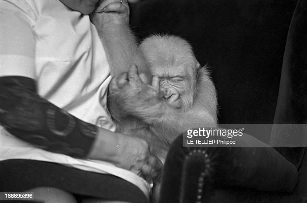 Snowflake The Albino Gorilla Le 3 mars 1967 en Espagne le gorille blanc albinos de 18 mois sur un fauteuil dans la maison du docteur Luera le...