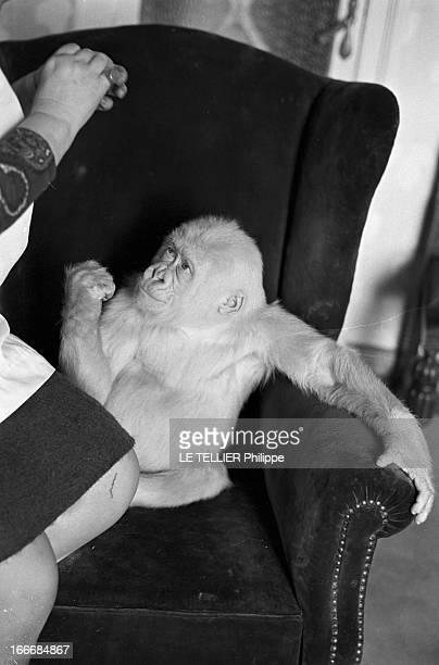 Snowflake The Albino Gorilla Le 3 mars 1967 en Espagne l'épouse du docteur LUERA le directeur du zoo de la ville de Barcelone chez elle en blouse...