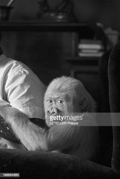 Snowflake The Albino Gorilla Le 3 mars 1967 en Espagne portrait du gorille blanc albinos de 18 mois dans la maison du docteur Luera le directeur du...
