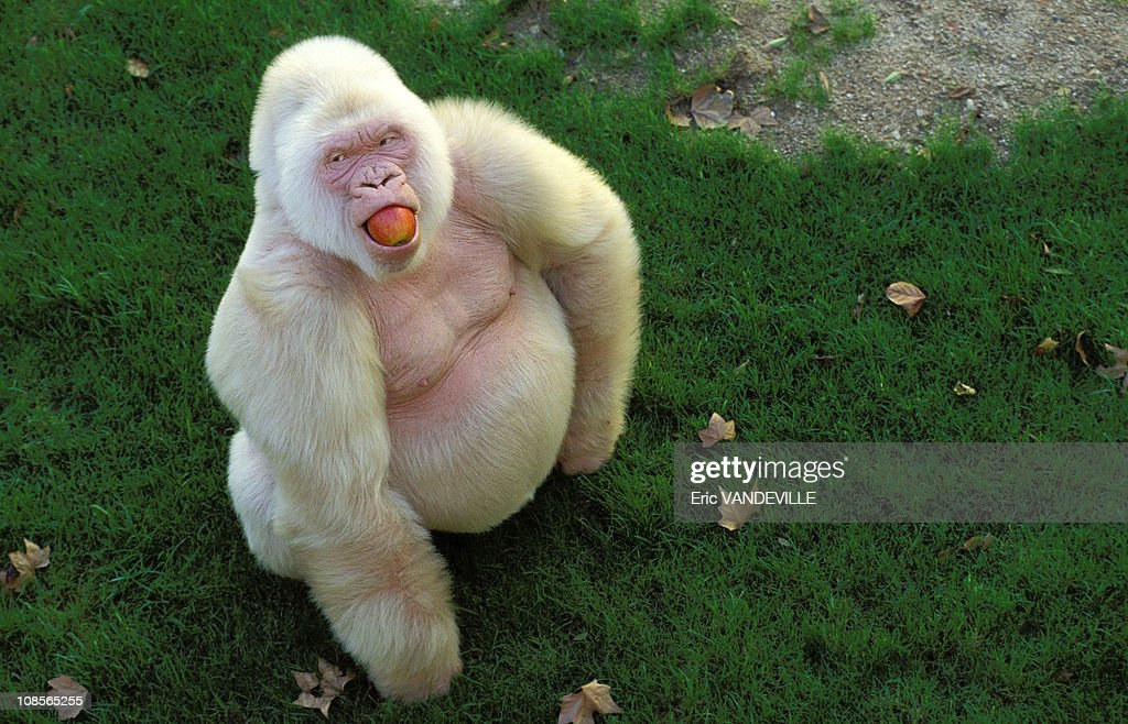 """Snowflake"" unique captive Albino Gorilla in Barcelona, Spain in December, 1996. : News Photo"