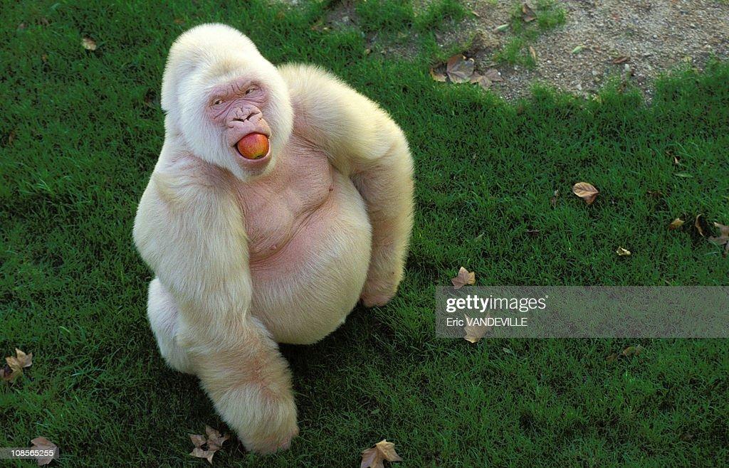 """""""Snowflake"""" unique captive Albino Gorilla in Barcelona, Spain in December, 1996. : Fotografía de noticias"""