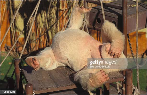 'Snowflake' unique captive Albino Gorilla in Barcelona Spain in December 1996