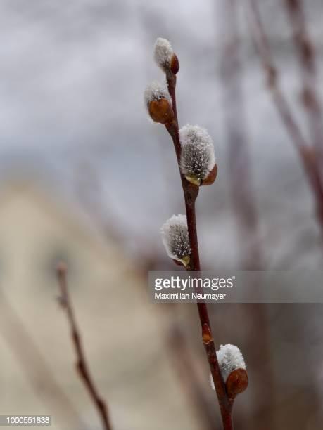Snowflakes On Salix Cinerea