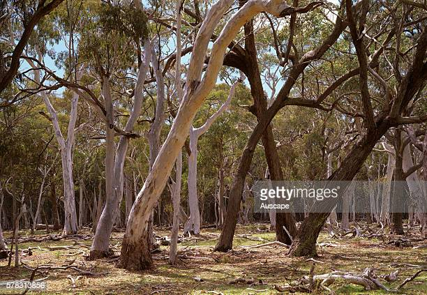 Snowgums Eucalyptus pauciflora and Silver top stringybark Eucalyptus laevopinea with dark trunks in open forest with grassy understory Coolah Tops...