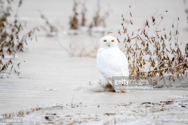 snowing owl perched on the ice - snowy owl stock pictures, royalty-free photos & images