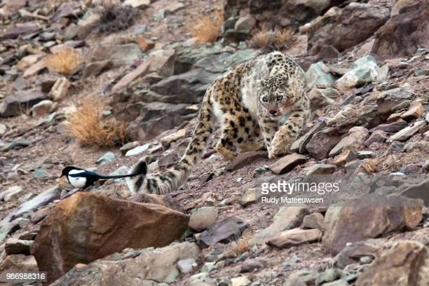 snowleopard8a copyright - leopardo delle nevi foto e immagini stock