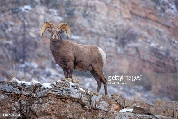 snow-ridged big horn sheep - file:bighorn,_grand_canyon.jpg stock pictures, royalty-free photos & images