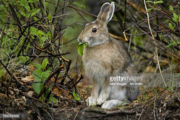 snowshoe hare, arctic national wildlife refuge, alaska - parco nazionale foto e immagini stock