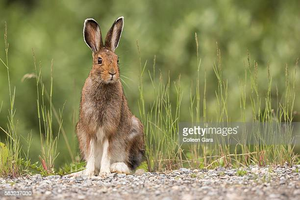snowshoe hare sitting roadside in kananaskis country, alberta, canada - hare stock pictures, royalty-free photos & images