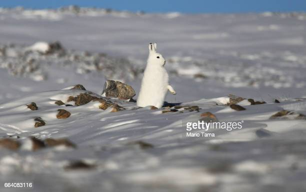 A snowshoe hare stands near Thule Air Base on March 25 2017 in Pituffik Greenland NASA's Operation IceBridge is flying research missions out of Thule...