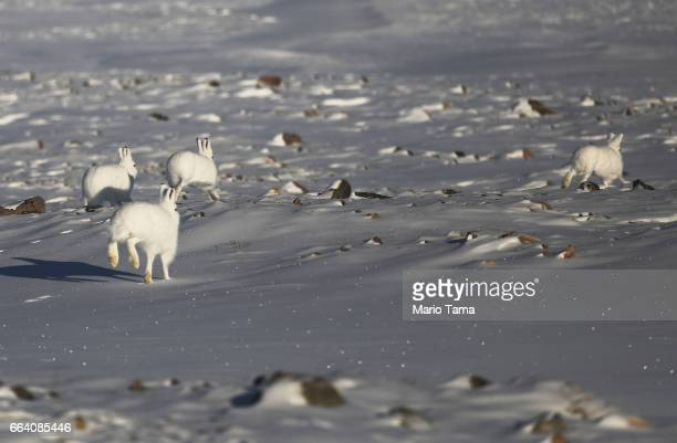 Snowshoe hares run near Thule Air Base on March 25 2017 in Pituffik Greenland NASA's Operation IceBridge is flying research missions out of Thule Air...
