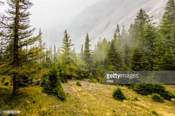 snowstorm in autumn - pinaceae stock pictures, royalty-free photos & images