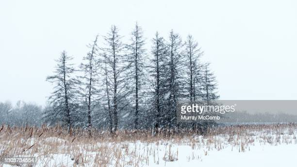 snowstorm in the bog - murray mccomb stock pictures, royalty-free photos & images