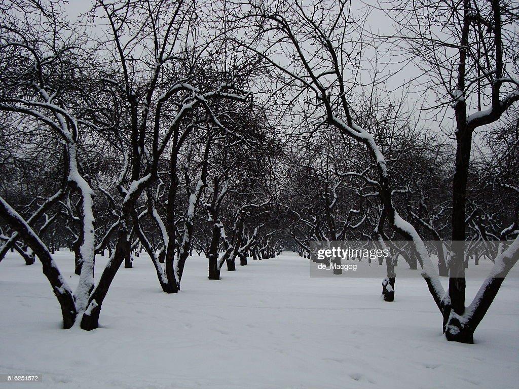 Snowy Apple orchard : Foto de stock