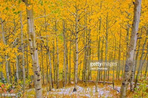 snowy aspen trees with autumn foliage - steamboat springs colorado stock photos and pictures