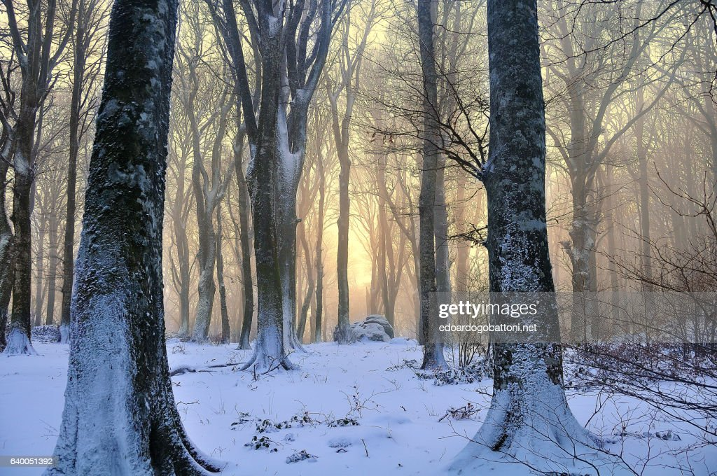 snowy beech forest at sunset : Foto stock