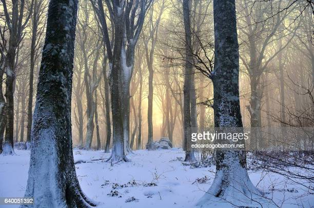 snowy beech forest at sunset