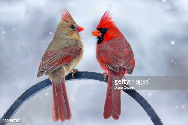 snowy chat - cardinal bird stock photos and pictures