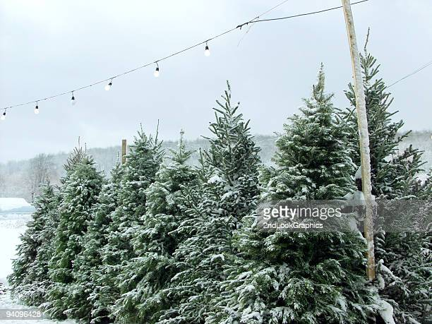 Snowy Christmas trees under outdoor fairy lights