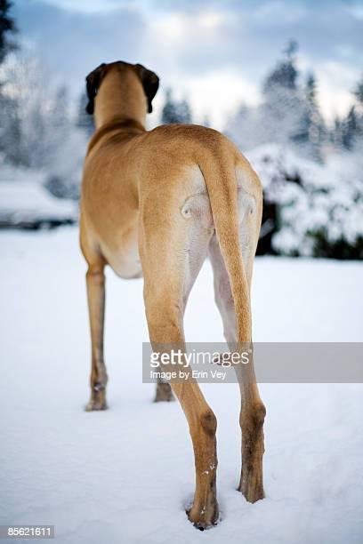 Snowy Dane