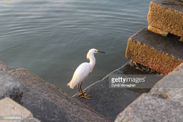 snowy egret exploring the seawall at sunrise - seawall stock pictures, royalty-free photos & images