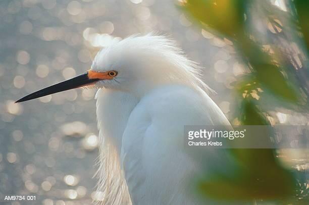 Snowy egret (Egretta thula), head-shot, Florida, USA