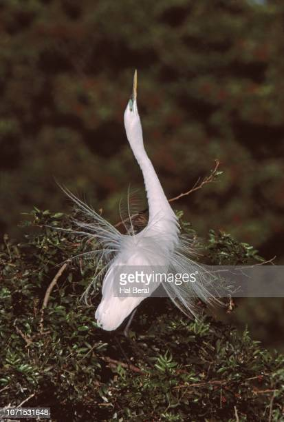 snowy egret in breeding plumage displaying - rookery stock pictures, royalty-free photos & images