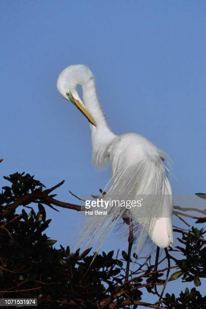 snowy egret in breeding plumage grooming - rookery stock pictures, royalty-free photos & images